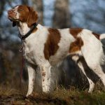 American Brittany Dog Breed Description