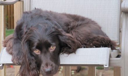 Boykin Spaniel Dog Breed Description