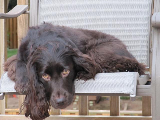boykin spaniel dog breed description the hunting dog