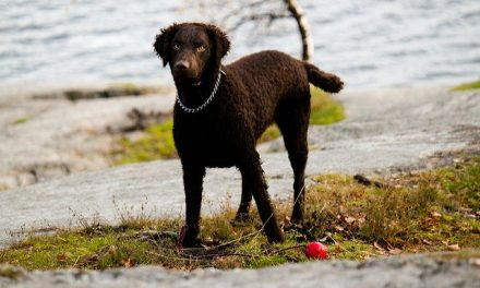 Curly Coated Retriever Dog Breed Description