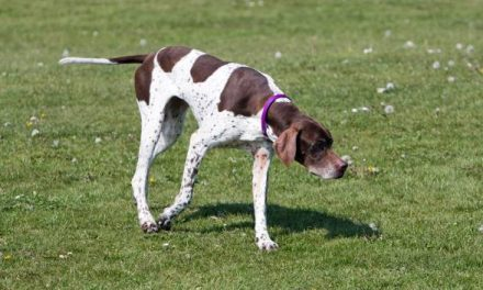 English Pointer Dog Breed Description