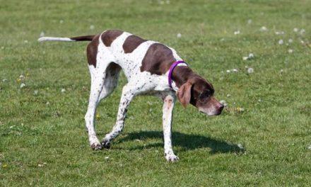 English Pointer Dog Breed Description