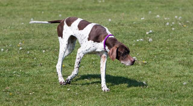 English Dog Pointer