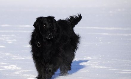 Flat Coated Retriever Dog Breed Description