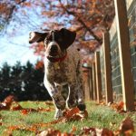 German Shorthaired Pointer Dog Breed Description