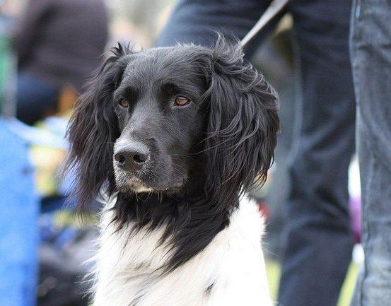 Large Munsterlander Dog Breed Description The Hunting Dog
