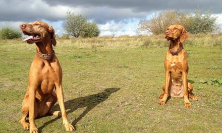 Vizsla Dog Breed Description