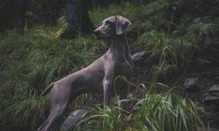 Weimaraner Dog Breed Description