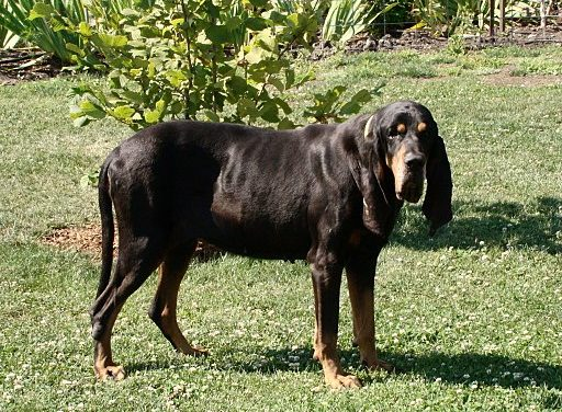 Black and Tan Coonhound Dog Breed Description
