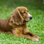 Cocker Spaniel Dog Breed Description