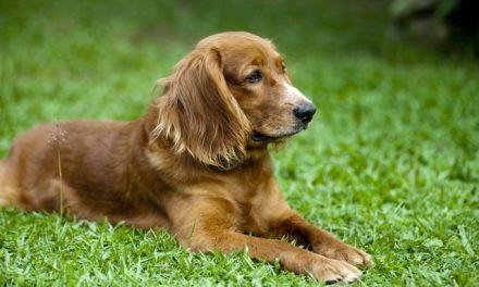 Cocker Spaniel Dog Breed Description
