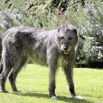 Irish Wolfhound Dog Breed Description