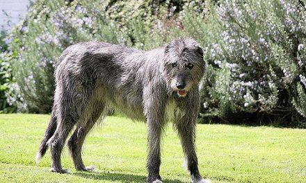 Irish Wolfhound Dog Breed Description