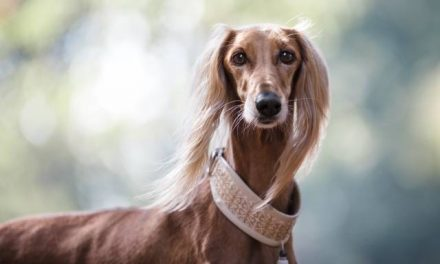 Saluki Dog Breed Description