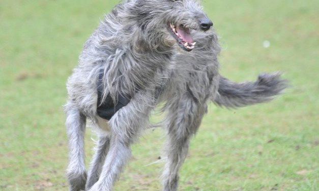 Scottish Deerhound Dog Breed Description