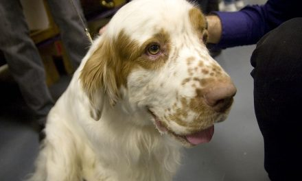 Clumber Spaniel Dog Breed Description
