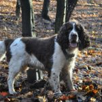 English Springer Spaniel Dog Breed Description