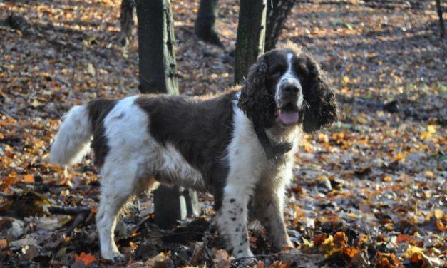 English Springer Spaniel Dog Breed Description