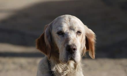 English Setter Dog Breed Description