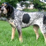 Bluetick Coonhound Dog Breed Description