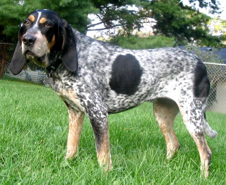 Bluetick Coonhound Dog Breed Description