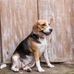 Beagle Dog Breed Description