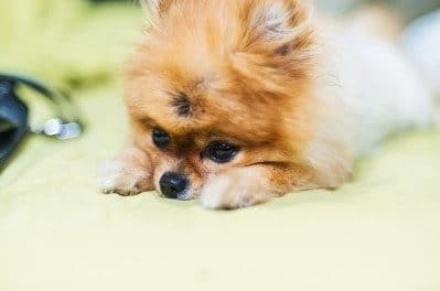 The Size of Teacup Pomeranians – An Advantage or a Threat?