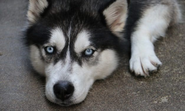 Huskies – are they loyal?