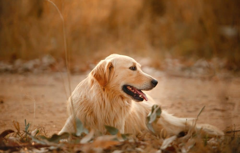 The Right Way to Train Golden Retrievers